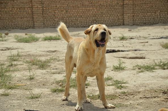 Kurdish Dog-Pshdar-Kurd Mastiff
